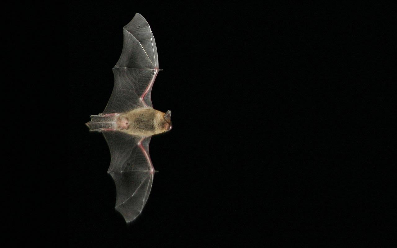 0235 pipistrelle-commune