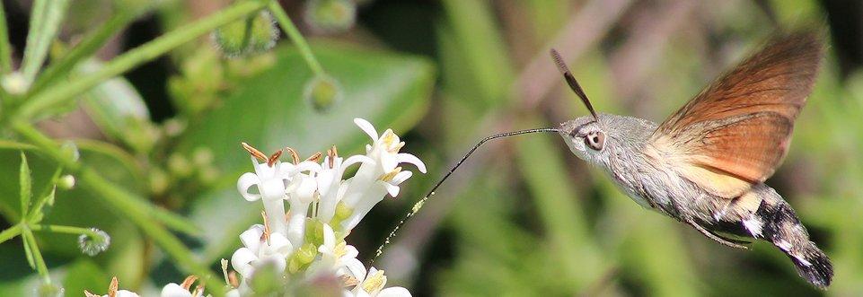 2.2 Sphinx colibris