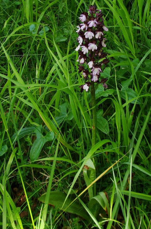 ORCHIS BRULE2
